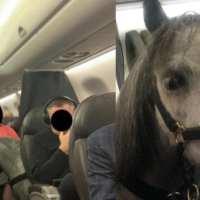 Mulher viaja com seu mini cavalo na cabine do avião