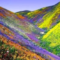 Deserto florido do Atacama atrai turistas ao Chile