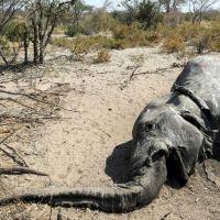 Botsuana encontra mais elefantes mortos, à espera de novos resultados  esta semana